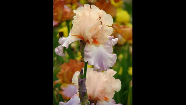 Bearded Iris – Photo by Andrey Korzun, shared under a Creative Commons (BY-SA 3.0) license, via Wikimedia Commons.