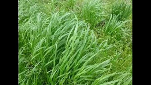 Winter rye, or cereal rye, is a great cover crop to plant in the fall or early winter.