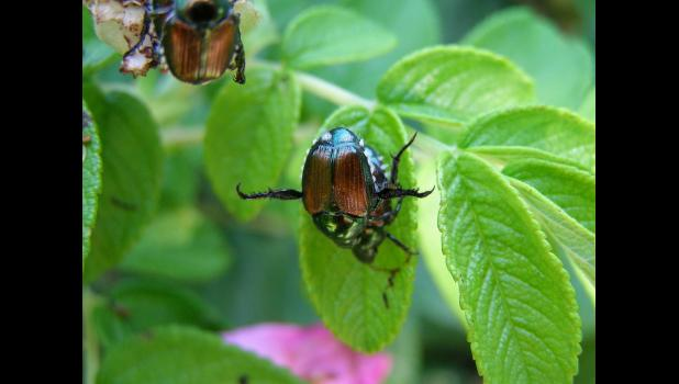 Japanese Beetles are in Hamilton