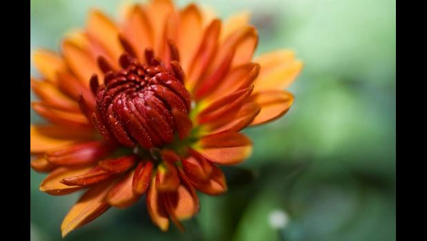 The bold colors of mums make them a great addition to fall decorating.