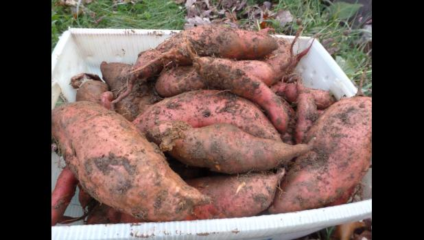 It's time to dig your sweet potatoes!