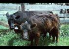 The main symptom of calves on toxin is a shaggy hair coat that does not shed.